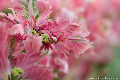tulips_MG_6314