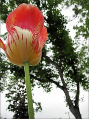 Tulip reaching skyward