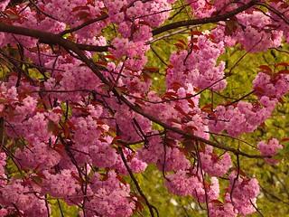 Bloesem, Blüte. Blossom. Rosaceae. Cherry Blossom. Hanami. Sakura. Prunus.