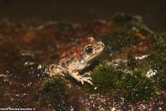 Alytes obstetricans (David Herrero Glez.) Tags: la frog toad sapo arenas amphibians vera losar caceres comn anfibios partero autillo alytes obstetricans