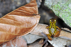 Isla Pastores - Oophaga Pumilio Pastores (Drriss) Tags: travel macro rainforest wildlife frogs panama amphibians centralamerica herpetology anura dendrobatidae poisondartfrogs pumilio taxonomy:order=anura taxonomy:binomial=oophagapumilio taxonomy:family=dendrobatidae taxonomy:species=pumilio taxonomy:genus=oophaga taxonomy:superfamily=dendrobatoidea taxonomy:subfamily=dendrobatinae