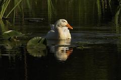 Sunbathing (ucumari photography) Tags: duck north wetlands carolina april nczoo 2011 specanimal ucumariphotography dsc9987