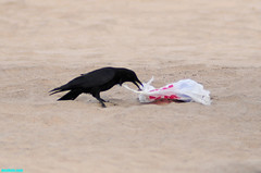 TheNooseTightened (mcshots) Tags: california usa bird beach birds trash neck coast losangeles stock flight strangle socal plasticbag crow mcshots twisted