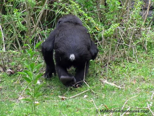 IMG_5325-WDW-DAK-baby-gorilla-tail