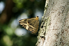 Colobura dirce. Dirce Beauty. (Vania Viana) Tags: butterfly borboleta coloburadirce dircebeauty