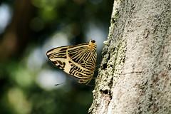 Colobura dirce. Dirce Beauty. (Vania Viana) Tags: butterfly borboleta coloburadirce dircebeauty