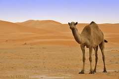 Camel (TARIQ-M) Tags: tree texture landscape sand waves desert dunes camel camels riyadh saudiarabia            canon400d        canonefs18200mmf3556is