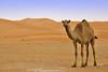 Camel (TARIQ-M) Tags: tree texture landscape sand waves desert dunes camel camels riyadh saudiarabia الصحراء جمال الرياض صحراء رمال جمل ابل رمل طعس نياق المملكةالعربيةالسعودية canon400d الرمل ناقة خطوط نفود الرمال كثبان تموجات canonefs18200mmf3556is تموج نفد