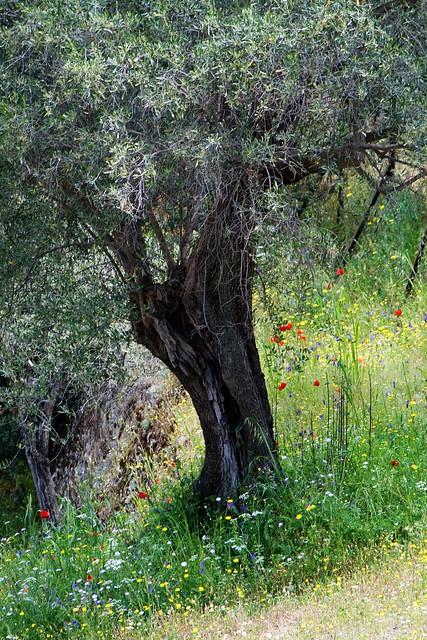 epidavros - tree3