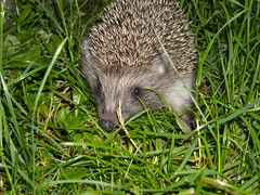 Night Traveller (GreenerGreen) Tags: nature grass animals wildlife hedgehog mammals spikes erinaceus erinaceinae erinaceidae europeanhedgehog