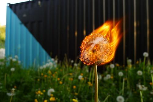 dandy (maf*pHew) Tags: dandelion burning flame rephlex shippingcontainer braindance mafphew mafphoto cds2011