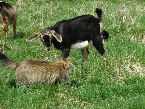 Cat (and goat) fight