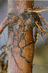 "Rhizomorphs, or ""shoe strings"" of Armillaria root rot on an apple rootstock. Photo courtesy Alan L. Jones, Michigan State Univ."