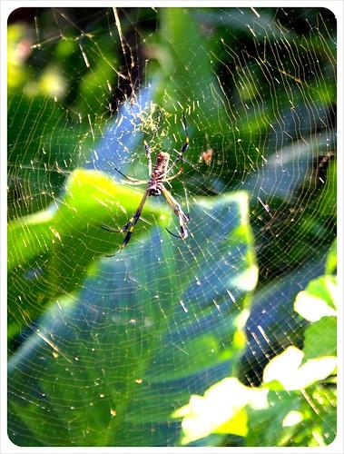 Spider web near Manzanillo