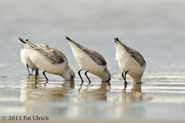 Feeding sanderlings - Pat Ulrich Wildlife Photography