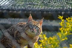 Indian desert cat Port Lympne wild animal park in kent (Daves Portfolio) Tags: animals cat kent desert african indian safari safaripark wildanimals portlympne wildlifeexperience aspinall