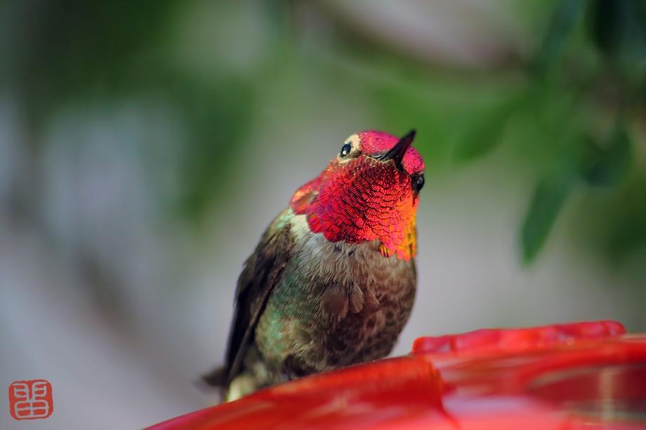 Anna's Hummingbird 042911