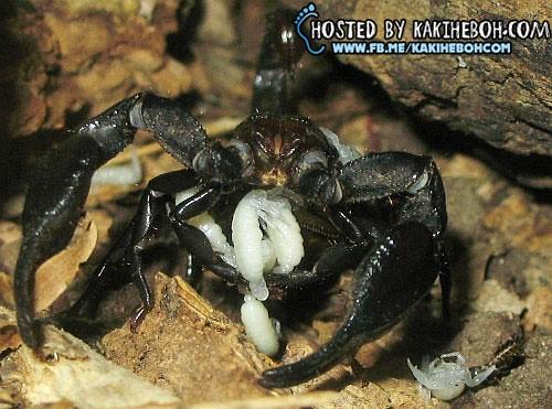 scorpionbirth03