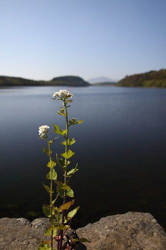 Plant growing out of Loch Fad causeway