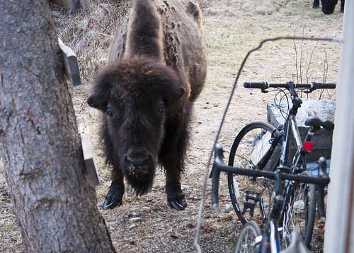 No Bison, You Cannot Ride the Bike