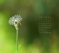 MAY Calendar (Faisal | Photography) Tags: flower macro green colors canon eos dof natural bokeh dandelion 100 28 usm ef 50d canoneos50d  canonef10028macrousm maycalendar faisal|photography