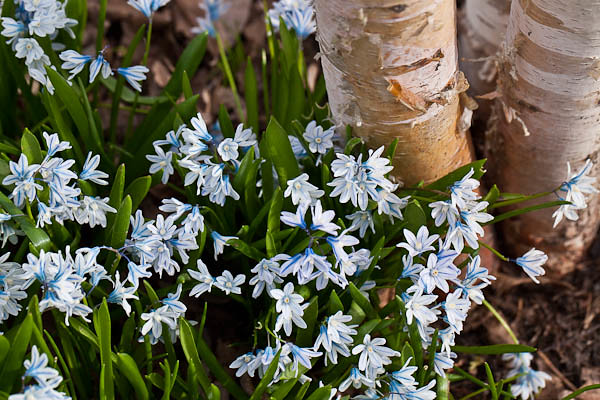 Squill in a Patch, Olbrich Botanical Gardens in Madison, Wisconsin
