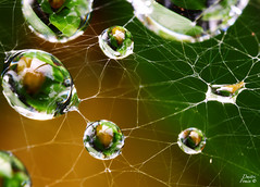 Spider pearls (Dmitri007) Tags: macro nature droplets spiderweb cobweb micro waterdrops morningdew macroworld canonmacrolens 5xmacro anonmpe65mm28
