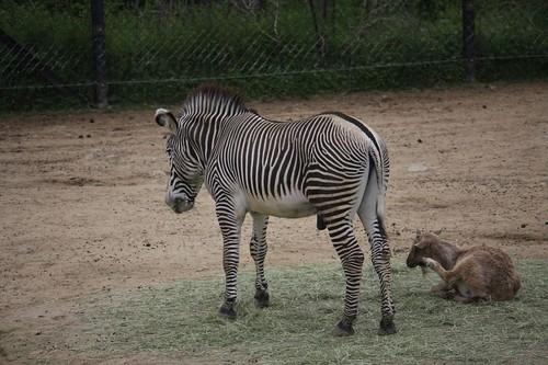 グレービーシマウマ / Grevy's zebra