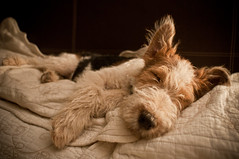 mustache Ruffo (Erwin Thieme) Tags: dog baby puppy little sleep ears terrier pup mustache zzzz doggie duerme orejas ruffo shortwhiskers