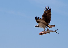 "Fripp - Osprey with food • <a style=""font-size:0.8em;"" href=""http://www.flickr.com/photos/30765416@N06/5687912119/"" target=""_blank"">View on Flickr</a>"