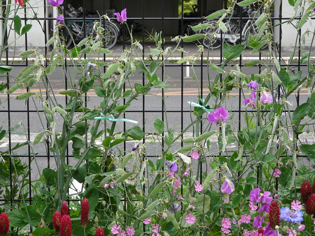 Care for Edogawa Wildflowers