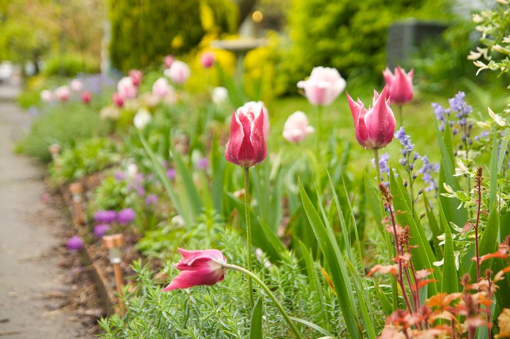 tulips  268