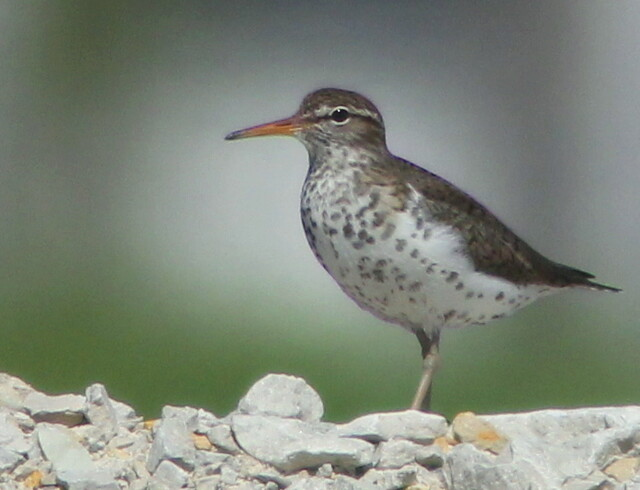Spotted Sandpiper 2-20110522