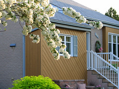 Dcor naturel (!MimosaMicheMichelle!) Tags: door house canada flower tree home window fleur whiteflower spring stair perron steps brossard step qubec porch porte maison arbre fentre printemps escalier marche southshore bluehouse montrgie rivesud demeure 2011 privategarden fleurblanche maisonbleue canons3is jardinpriv mimosamichemichelle michellebchardlalonde img9051mf