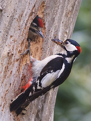 Great spotted woodpecker (Dendrocopos major) - Explore'd (PeterQQ2009) Tags: holland birds dendrocoposmajor