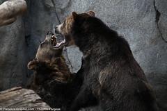 Bears (thomas-fargeas) Tags: bear animal canon panda sandiego turtle polarbear leopard koala hyena snowleopard aigle 5dmk2 thomasfargeas paradoxgraphic