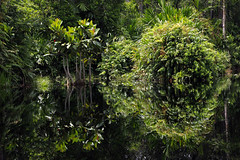 Indonesian rainforest (Greenpeace UK) Tags: trees plants green nature beauty reflections indonesia outdoors flora rainforest day wildlife rivers forests climate indonesian biodiversity rainforests peatland tropicalrainforests foreststopography sinarmasgroup