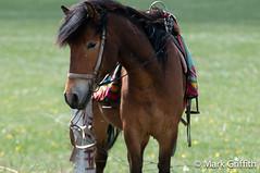 Mongolian Pony