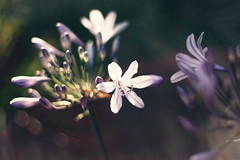 A New Chapter (In my entirety) Tags: sunlight flower canon 50mm kiss bokeh ii f18 xsi x2 450d