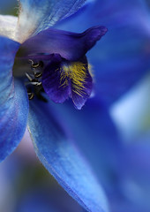 Dreams Of Blue (AnyMotion) Tags: flowers blue plants macro nature floral colors garden colours blossom frankfurt ngc natur pflanzen blumen blau ie makro blte garten delphinium fa larkspur farben doublefantasy rittersporn 2011 makroaufnahmen anymotion canoneos5dmarkii ahqmacro 5d2 redmatrix vlkerfrieden