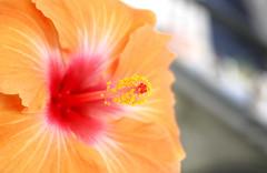 (°°Daphne°°) Tags: orange flower hibiscus fiore arancione ibisco