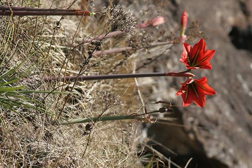 Amaryllis-like_flower_Itatiaia_NP_2006_09_12_054.jpg