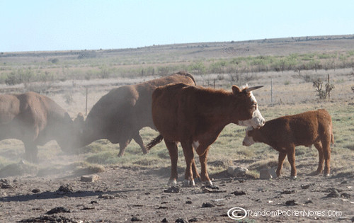 PAM_0090--mama-cow-plays-with-bull