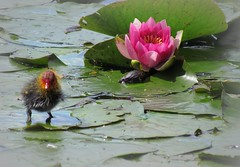 Baby Moorhen (Ameliepie) Tags: summer baby flower bird nature water leaves june season waterlily lily waterbird gift present moorhen 2011 littlemoorhen