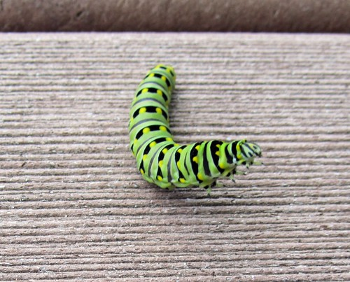 Inquisitive Swallowtail Caterpillar