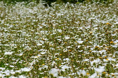 Wildflower wonder... (SteveJM2009) Tags: uk flowers flower field june daisies flora focus dof low meadow dorset masses stevemaskell kingstonlacy oxeyedaisy leucanthemumvulgare 2011 moondaisy