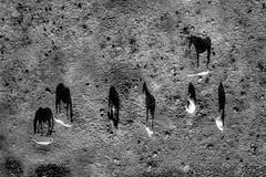 black shadows for a white horses / les negres ombres dels cavalls blancs (Ferran.) Tags: shadow horse shadows ballon ombra catalonia cerdanya ombres cavall globus prat cavalls