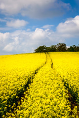 golden field (NikonNeil) Tags: trees england nature yellow walking golden countryside fields rapeseed