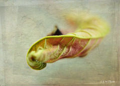 Curled Poinsettia (guizhou2012) Tags: macro texture vintage leaf nikon dried withered memoriesbook