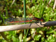 The Lodge - Sandy (May 2015) (herbman101) Tags: nature photo uk england bed bedfordshire sandy rspb naturereserve birdreserve thelodge insect damselfly largereddamselfly pyrrhosomanymphula